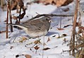 Dark-eyed Junco (32192975266).jpg