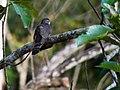 Dark Hawk-Cuckoo (13890331563).jpg