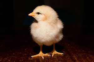 Day old chick black background.jpg