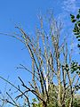 Dead tree branches in Hatfield Broad Oak Essex England.jpg