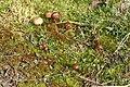 Deconica montana 63601214.jpg