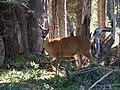 Deer (048d0aea58254d3ea6cbca12fa314814).JPG