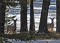 Deer by the water on Drummond Island.jpg