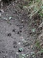 Deer tracks in Chase Woods - geograph.org.uk - 273681.jpg
