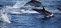 Delfini tra panarea e stromboli.jpg