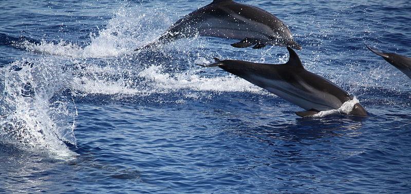 File:Delfini tra panarea e stromboli.jpg