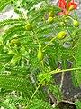 Delonix regia- Flame tree, Peacock Flower, Anasippoomaram, Poomaram 6.jpg