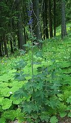 Stračonôžka vysoká (lat. Delphinium elatum)