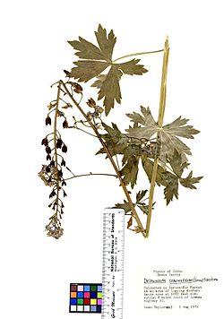Delphinium stachydeum (6933380831).jpg
