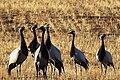 Demoiselle Cranes in eastern Siberia.jpg