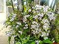 Dendrobium - panoramio (3625).jpg