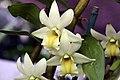 Dendrobium Frosty Dawn 1zz.jpg