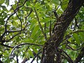 Dendrobium aqueum Lindl. (21878929795).jpg