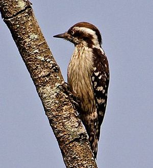 Brown-capped pygmy woodpecker - Image: Dendrocopos nanus