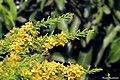 Desert Cassia (Senna polyphylla) (24064292557).jpg
