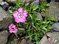 Dianthus alpinus 1.jpg
