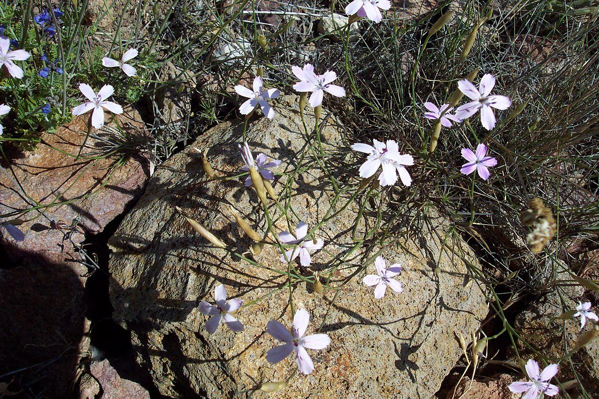 Flora de la provincia de almer a wikipedia la for Jardin botanico almeria