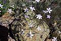 Dianthus charidemi 2.jpg