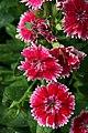 Dianthus chinensis Telstar Picotee 1zz.jpg