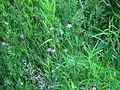 Dianthus deltoides, SSM Canal 1.JPG