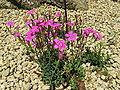 Dianthus glacialis3.jpg