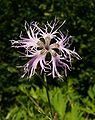 Dianthus superbus 010807.jpg