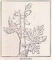 Dicentra Page 823.jpg
