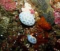 Didemnum candidum Compound ascidian - Poor Knights Islands.jpg