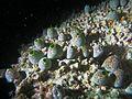 Didemnum molle Maldives.JPG