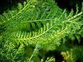 Die Schafgarbe, lat. Achillea millefolium, 'Cerise Queen' 04.jpg