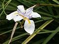 Dietes grandiflora Flower BotGardBln0806a.JPG