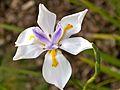 Dietes grandiflora or Fairy Iris.jpg
