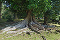 Dimorphandra mora-Jardin botanique de Kandy (2).jpg