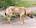 Dog in Gyumri.jpg