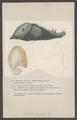 Dolabella - Print - Iconographia Zoologica - Special Collections University of Amsterdam - UBAINV0274 005 03 0055.tif