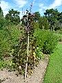 Dolichos lablab 'Hyacinth bean' (Leguminosae) plant.JPG