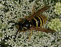 Dolichovespula sylvestris^ (male) - Flickr - S. Rae.jpg