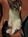 Domestic Short Hair Kitten (Haven) 6 months old.jpg
