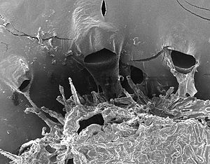 Double-sided tape - A leaf sticking to double-sided tape looked at with a Scanning Electron Microscope