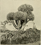 Dragon's-Blood Tree.jpg