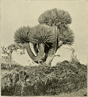Henry Ogg Forbes - Image: Dragon's Blood Tree