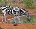 Drinking Zebra as photographed by my brother in law Han in the Greater Krugerpark - panoramio.jpg