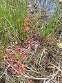 Drosera rotundifolia Königsmoor.jpg