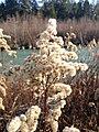 Dry plant at river Ill.jpg