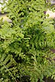 Dryopteris affinis Cristata the King 1zz.jpg