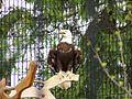 DuPage Forest Preserve Eagle Rehab.jpg