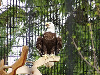 Forest Preserve District of DuPage County - Bald eagle in rehab