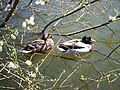 Duck and Drake - geograph.org.uk - 387889.jpg