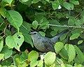 Dumetella carolinensis -Wildwood Preserve Metropark, Toledo, Ohio, USA-8.jpg