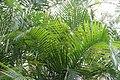 Dypsis lutescens 13zz.jpg